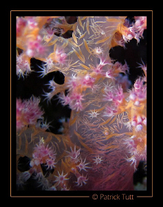 This soft coral remind me of a Chinese tapestry - Saudi A... by Patrick Tutt 
